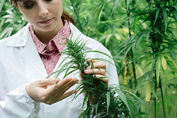 48739553 - female scientist in a hemp field checking plants and flowers, alternative herbal medicine concept